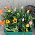 Na zdjęciu widać zieloną skrzynkę. Rosną w niej: pomarańczowe, żółte i różowe tulipany. Widać dużo zielonych liści. Za skrzynią widać szarą donicę z suchymi pędami. Po prawej stronie widać kawałek zielonej skrzynki.