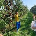 Chłopiec w okularach, w żółtej koszulce i niebieskich spodniach zrywa czerwone jabłka w sadzie
